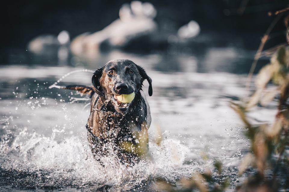 labrador retriever en agua