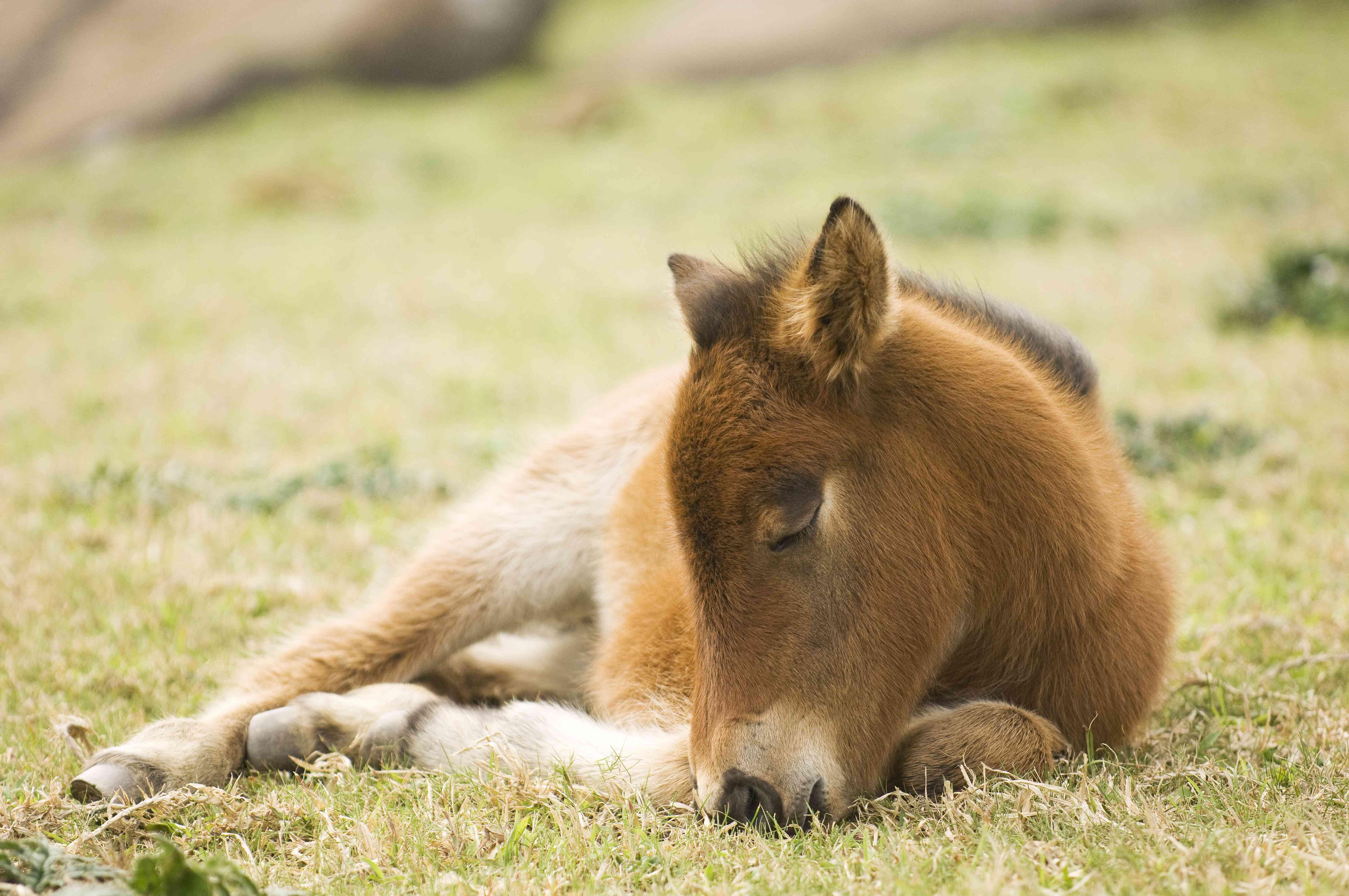 Yonaguni Foal