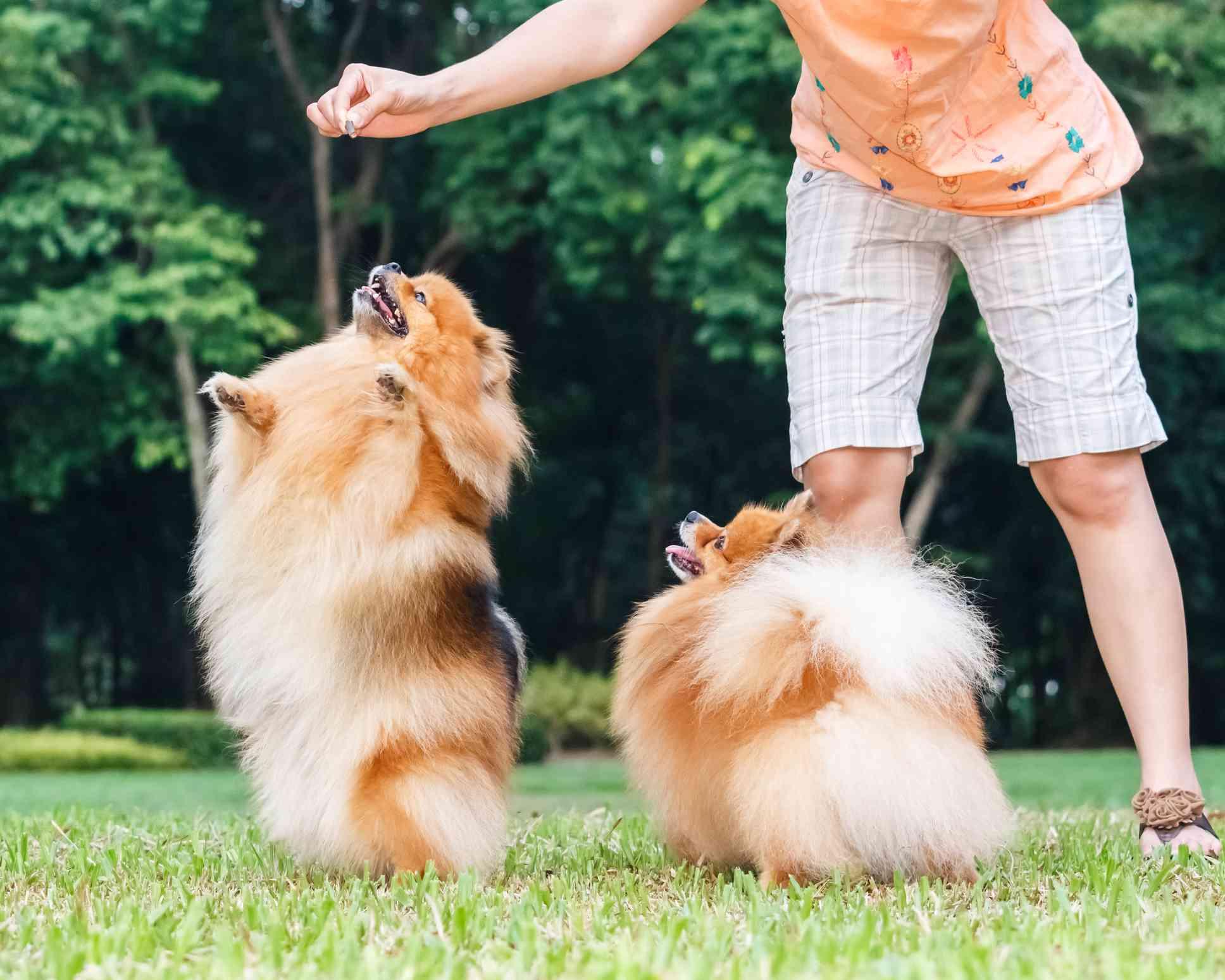 Perros Pomerania bailando afuera
