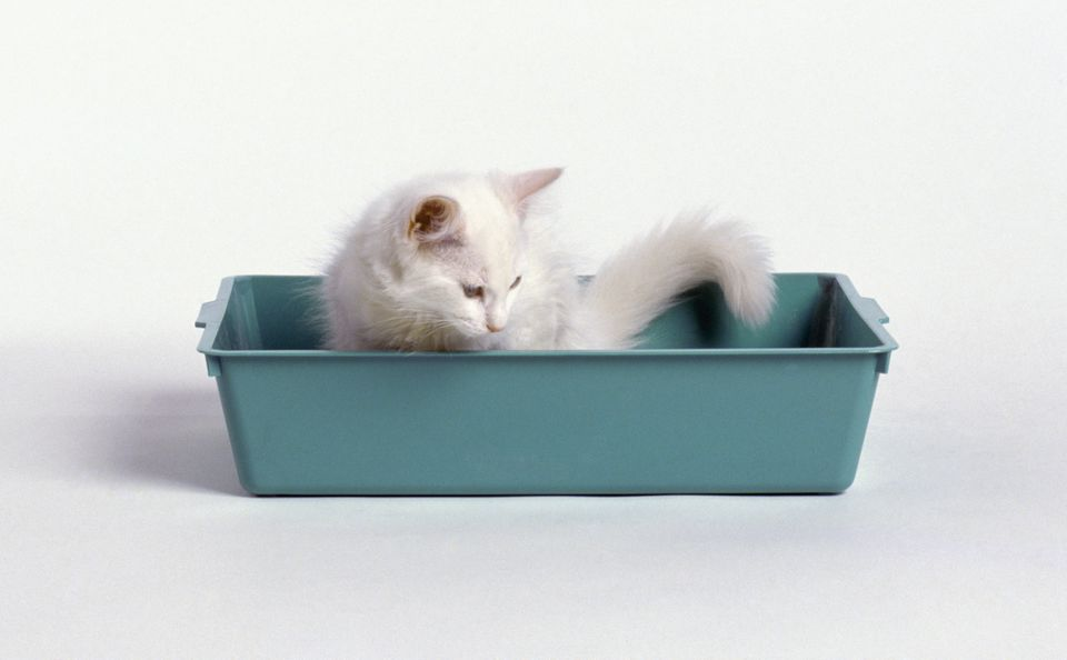 White kitten in a litter box