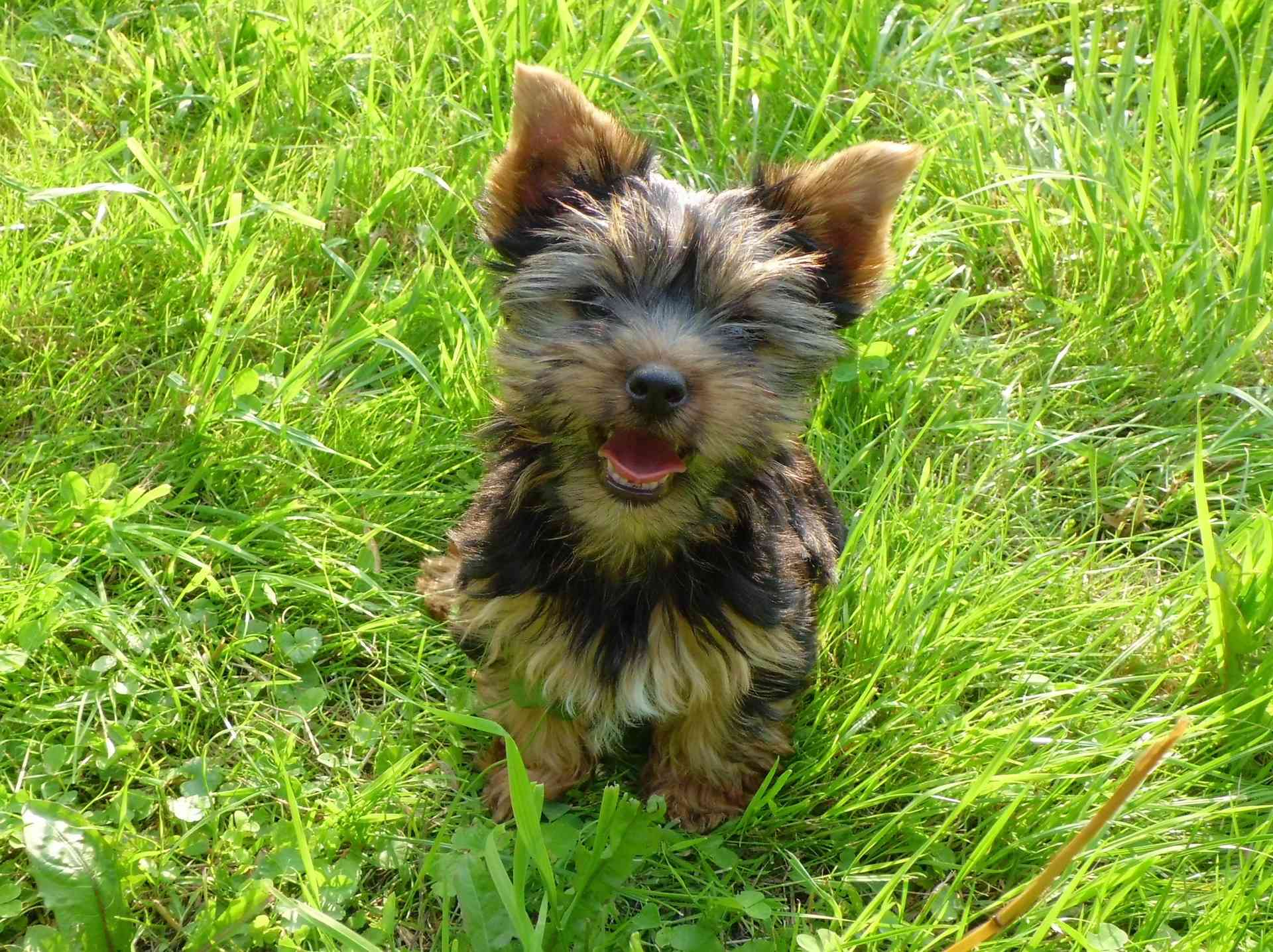 A Yorkshire terrier smiling for the camera.