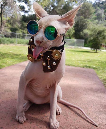 13 Convincingly Cute Sphynx Cats