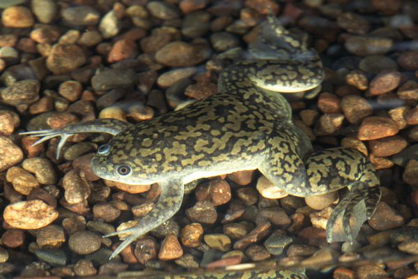 African clawed frog in water with gravel underneath