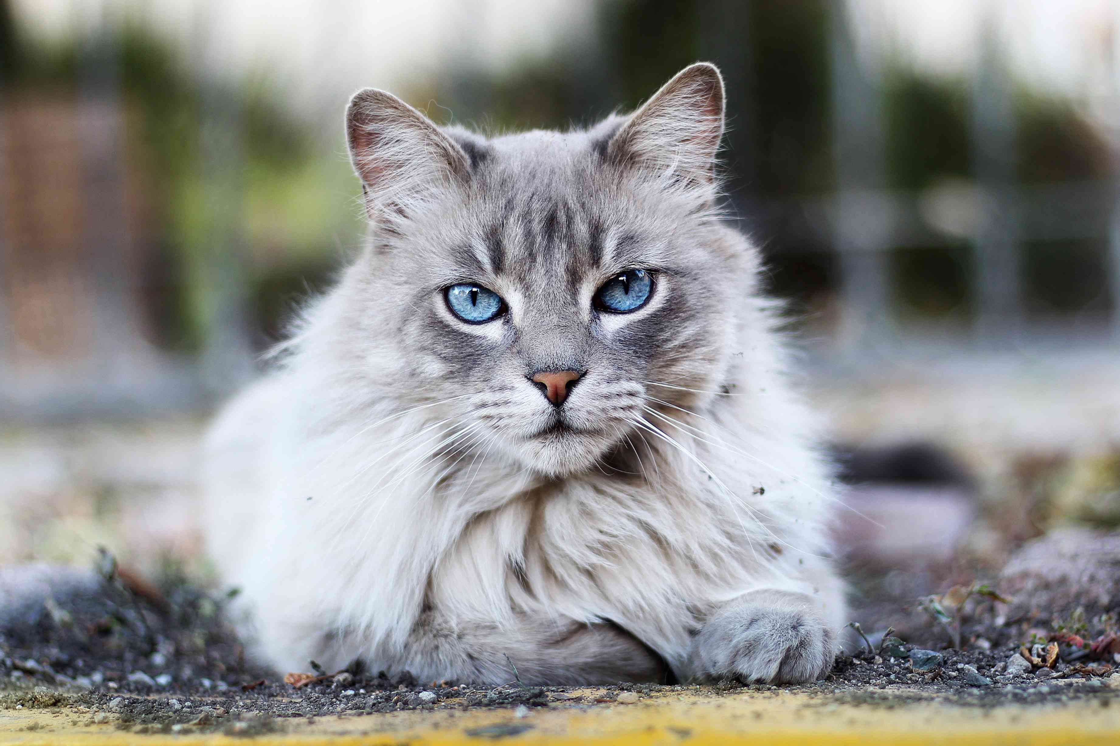 A gray Maine coon cat with blue eyes looking at the camera.