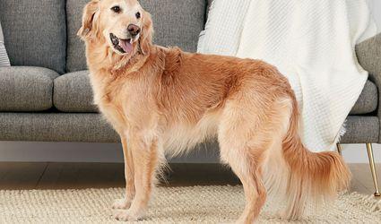 Golden retriever standing indoors in profile