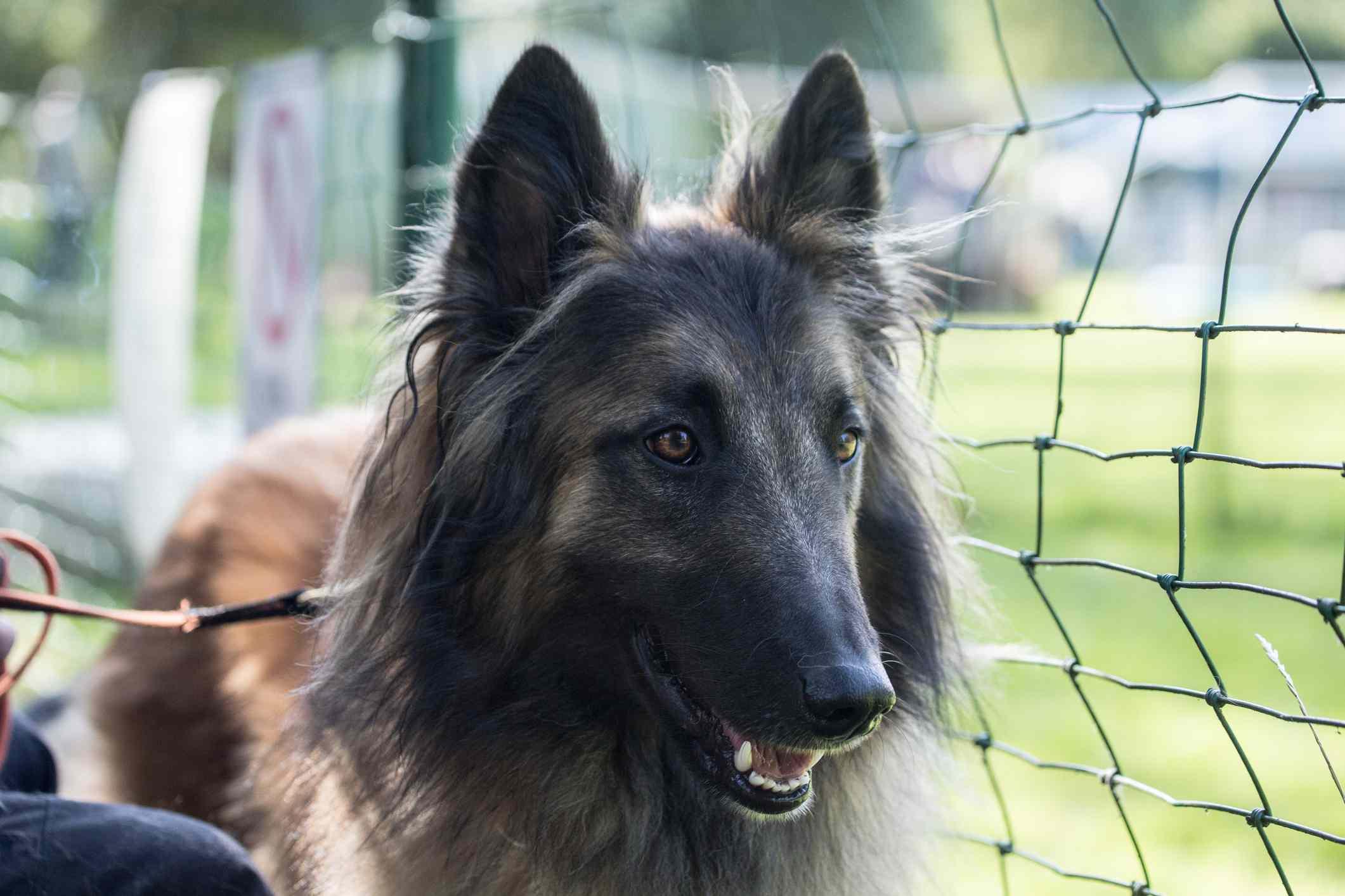 Tervuren dog sitting outside next to fence.