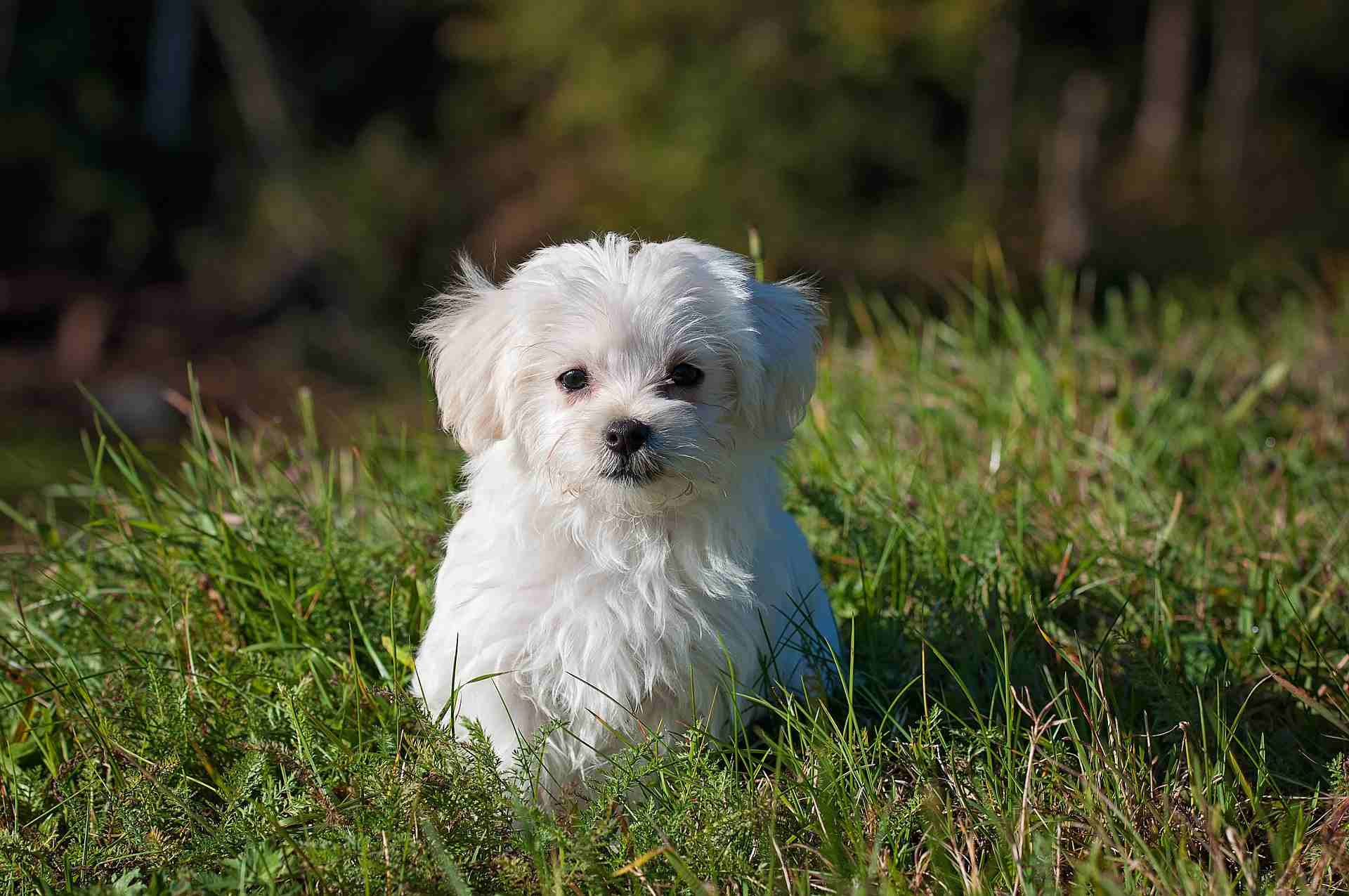 A Maltese puppy sitting in the grass.