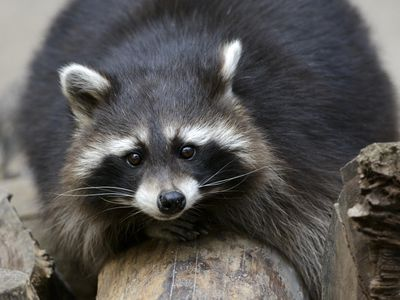 Keeping and Caring for Raccoons as Pets