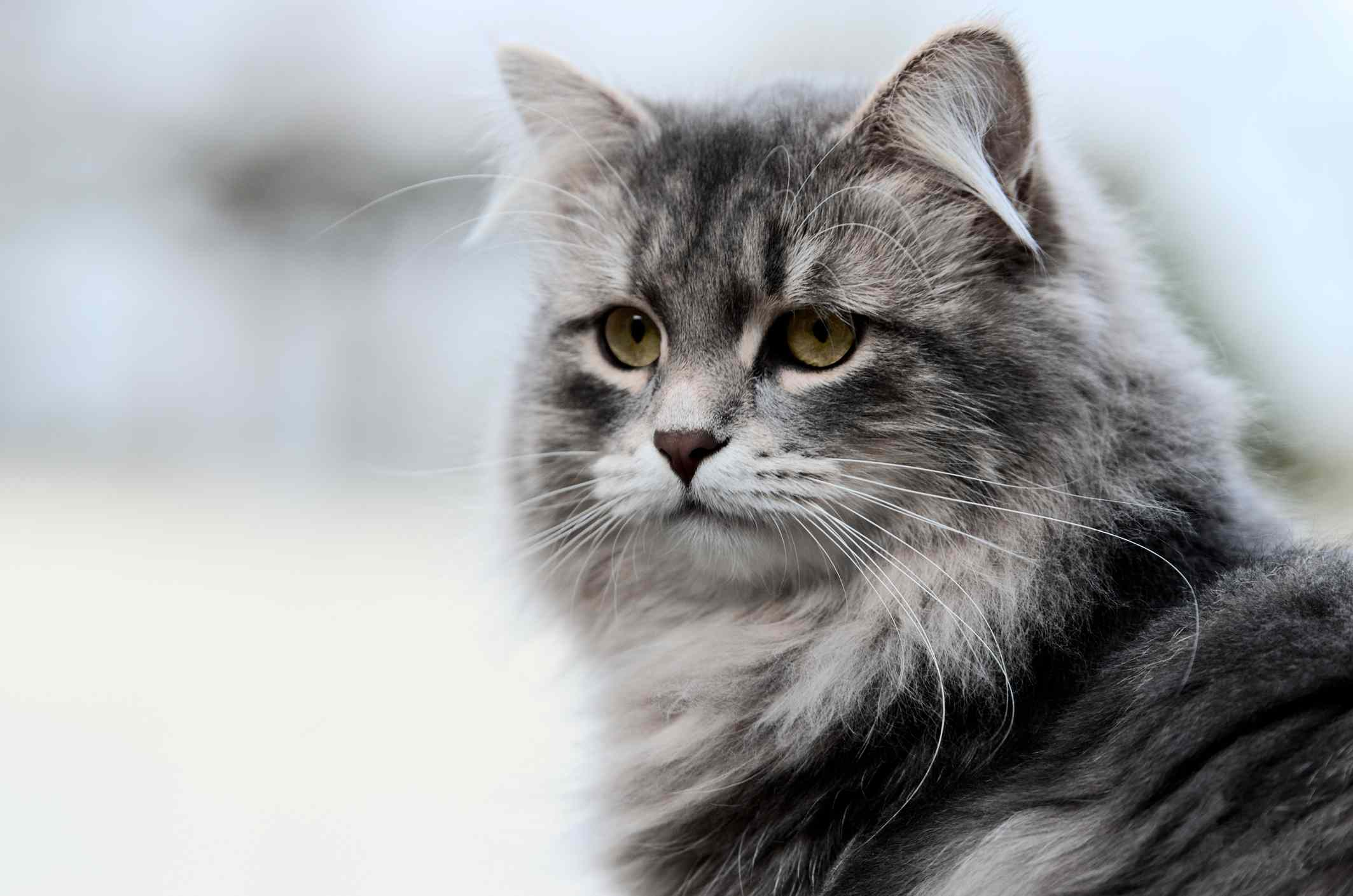 Siberian cat against blurred gray background