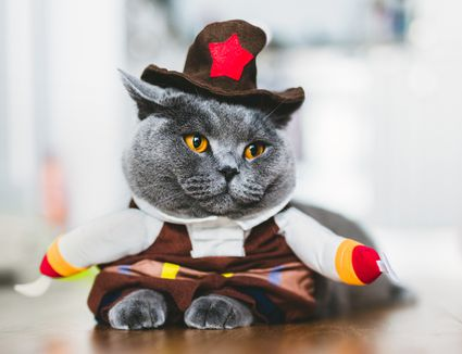 British shorthair cat wearing a funny costume
