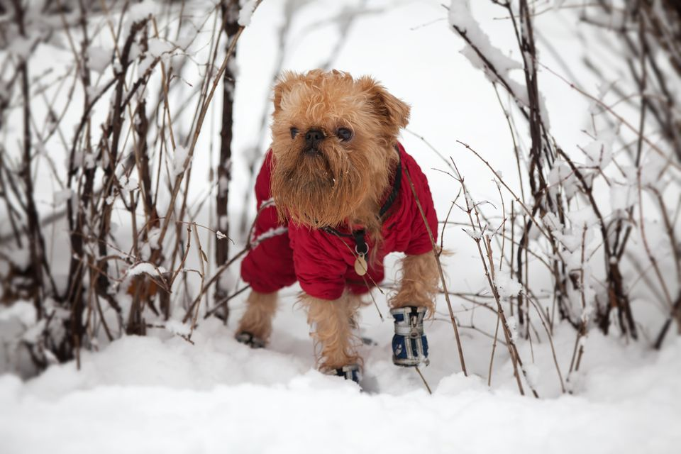 Dog on a winter walk with boots