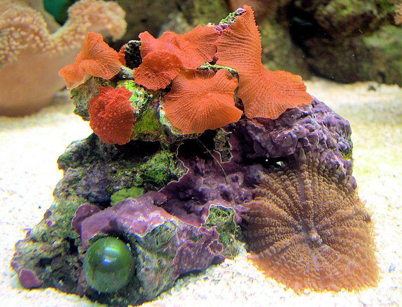 Red Mushroom Coral (Discosoma sp.)
