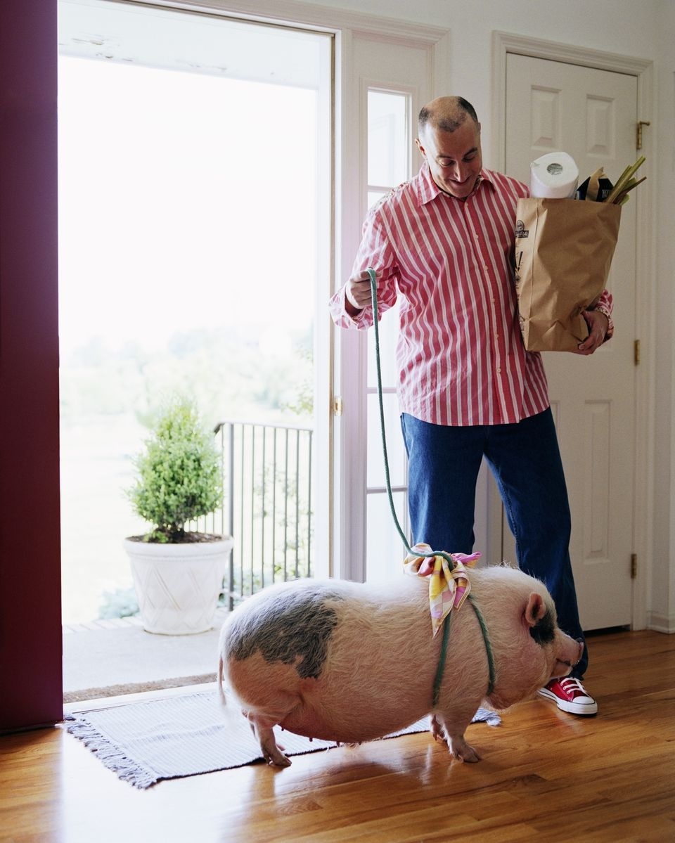 man with pet pig and groceries arriving home