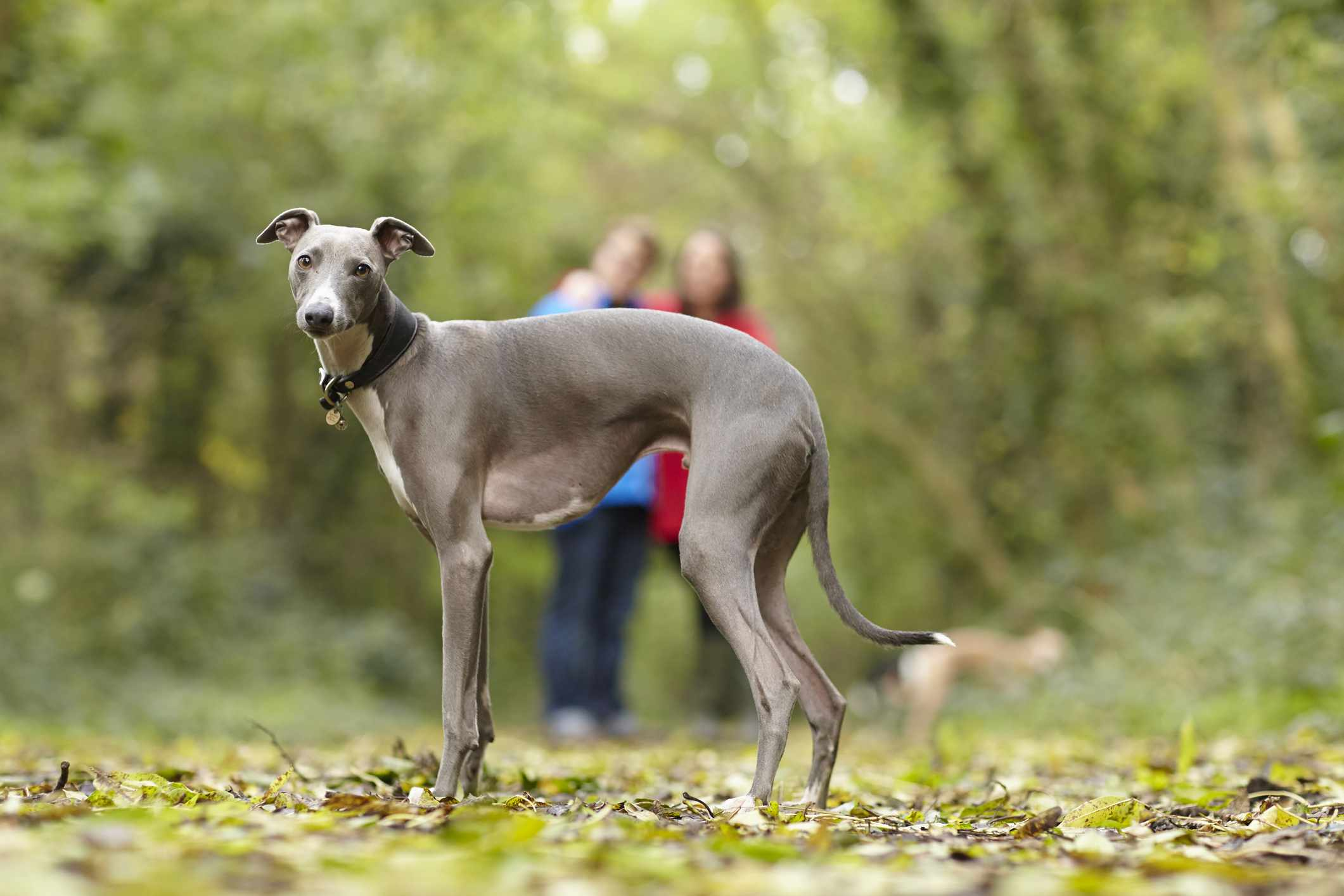 Whippet standing in a forest with people in the background