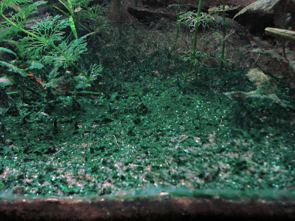 Alga verde azul