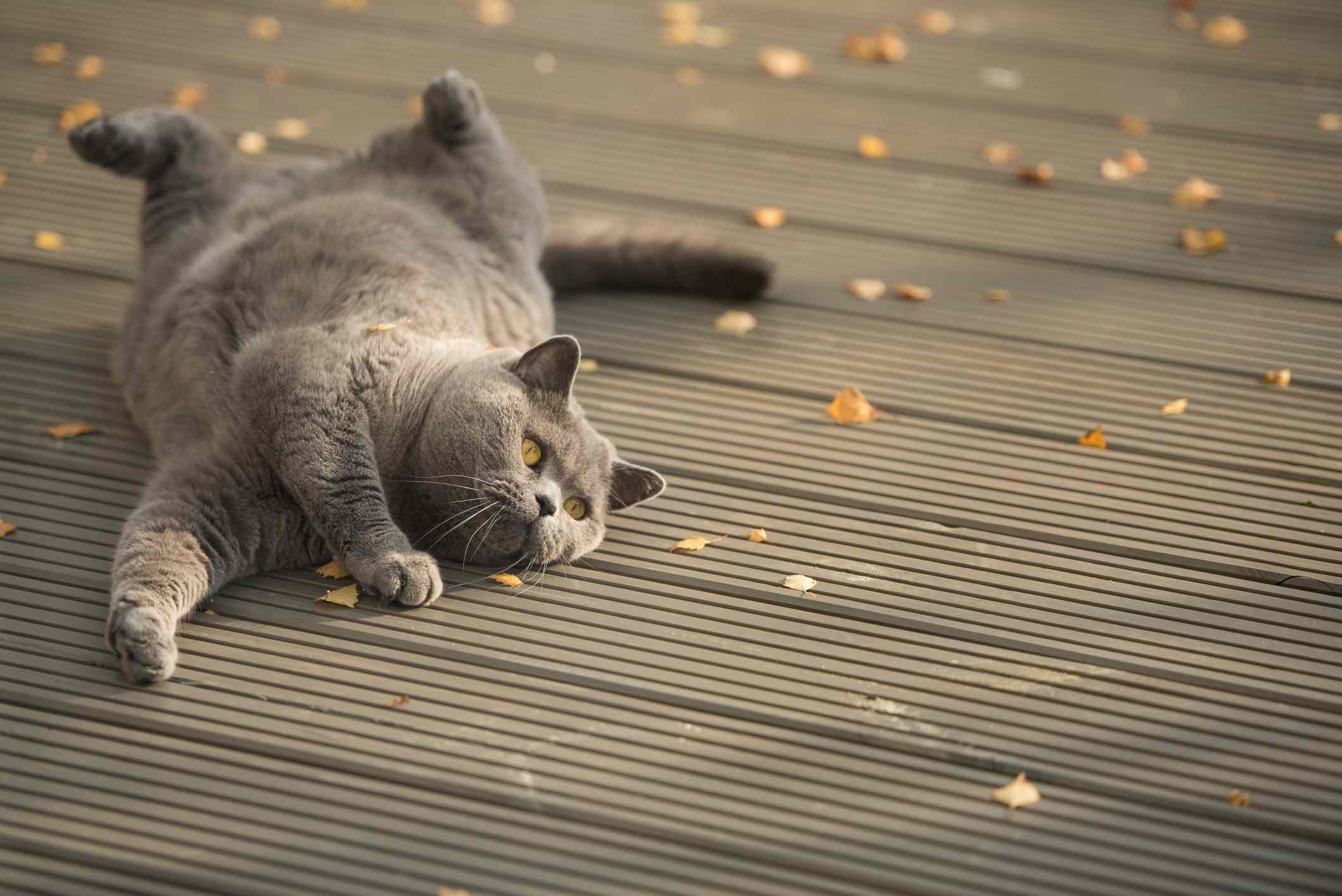 gato juguetón rodando en la terraza del jardín