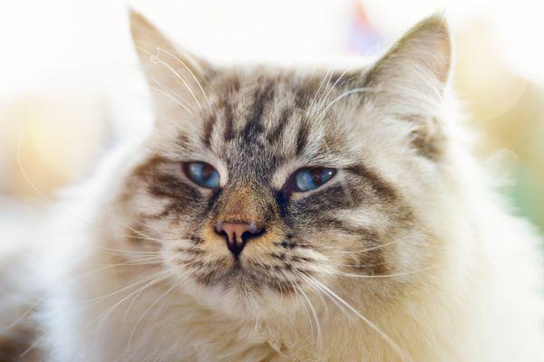 A close-up of a ragamuffin cat.