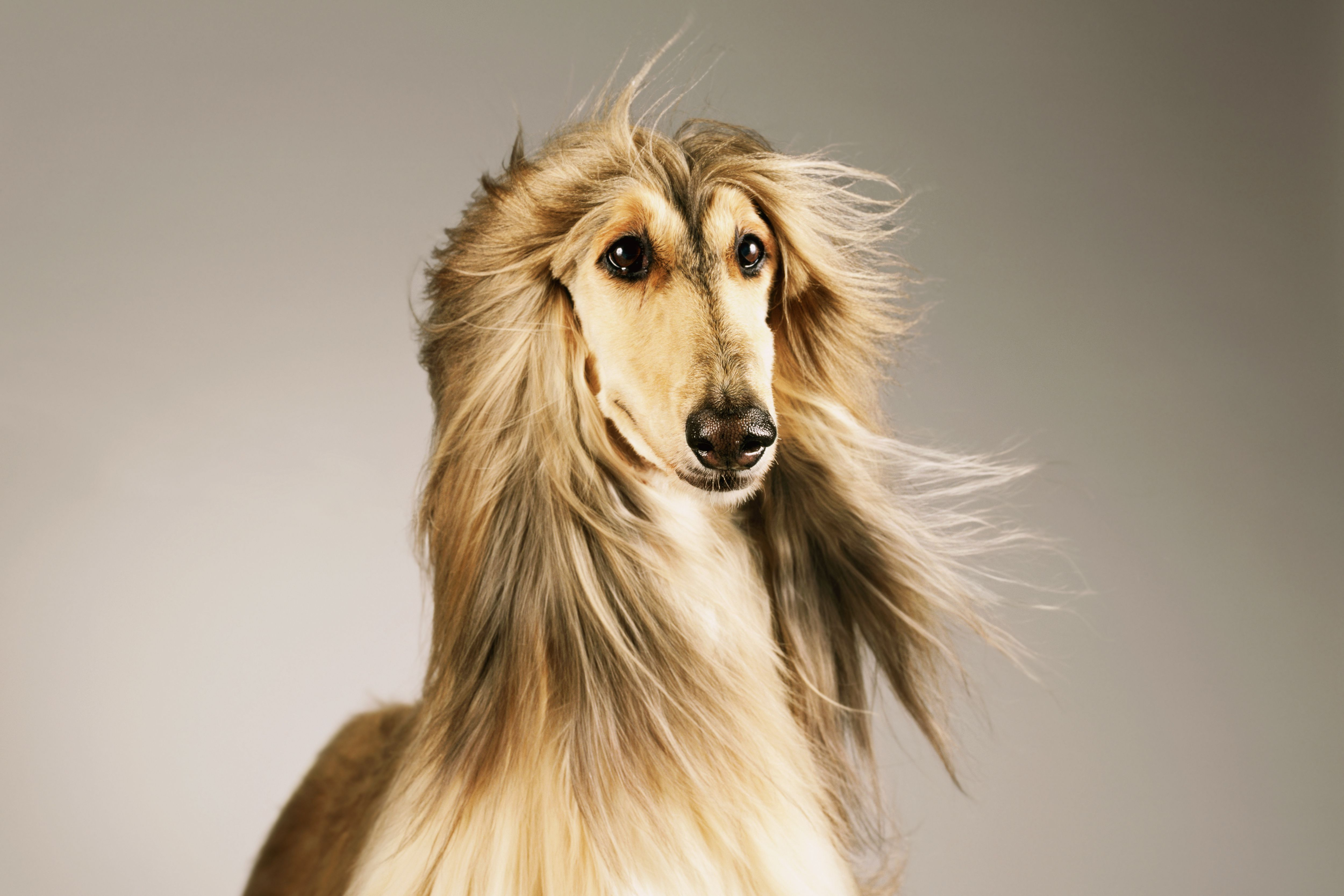 portrait of an Afghan hound