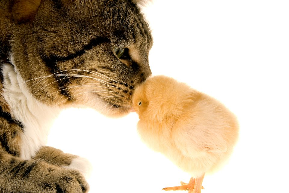 Cat and little chick being affectionate