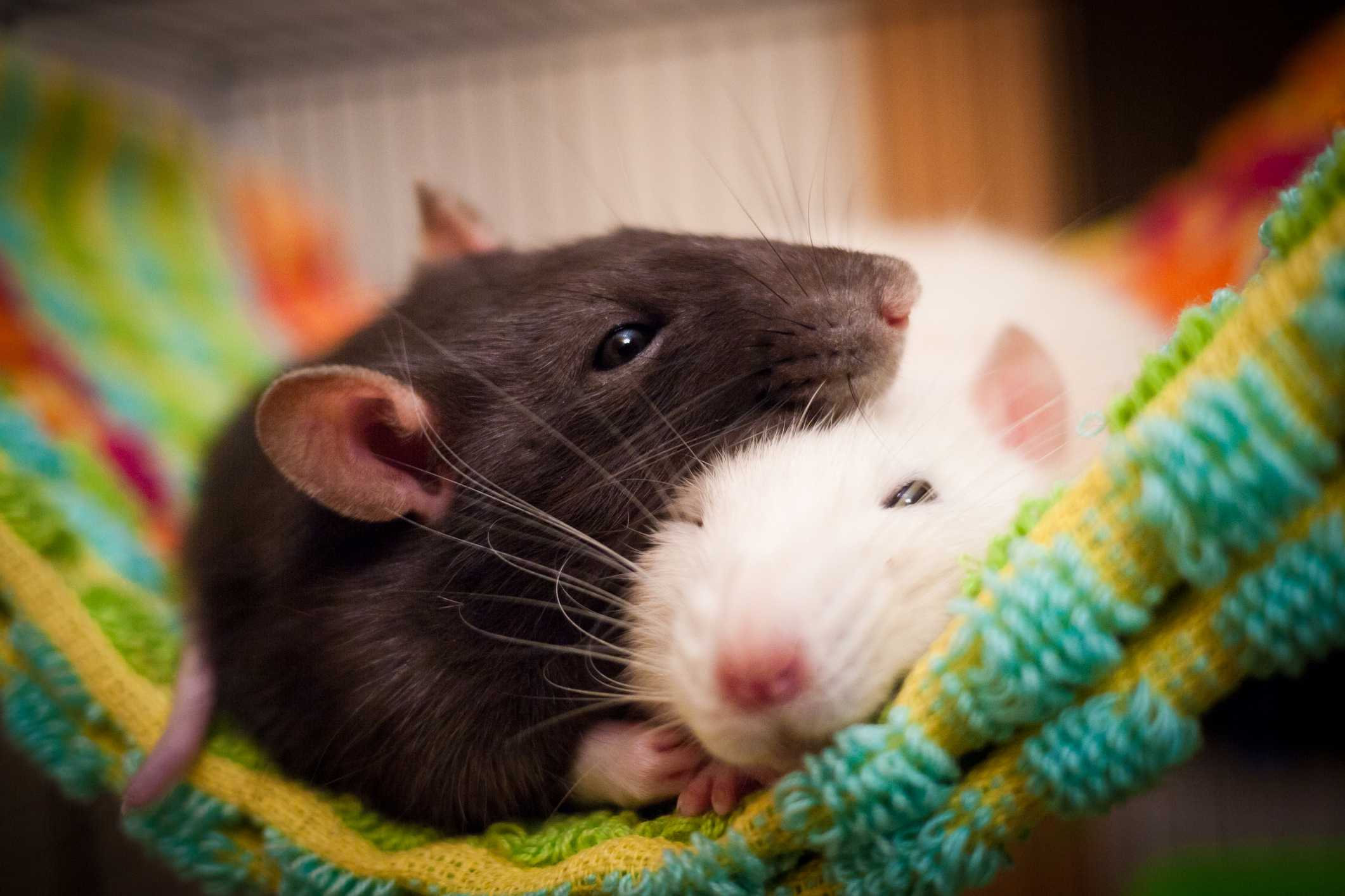 Two rate--one black and one white--resting on a blanket.