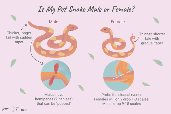 how to tell the sex of a snake