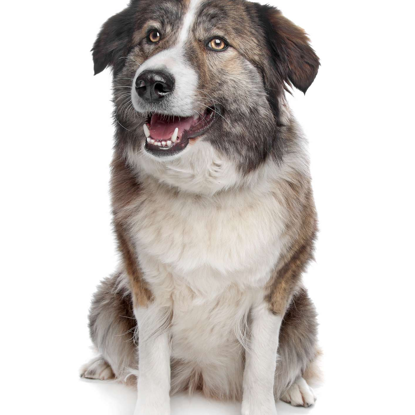 Aidi dog with white markings sitting with its mouth open in front of a white background.