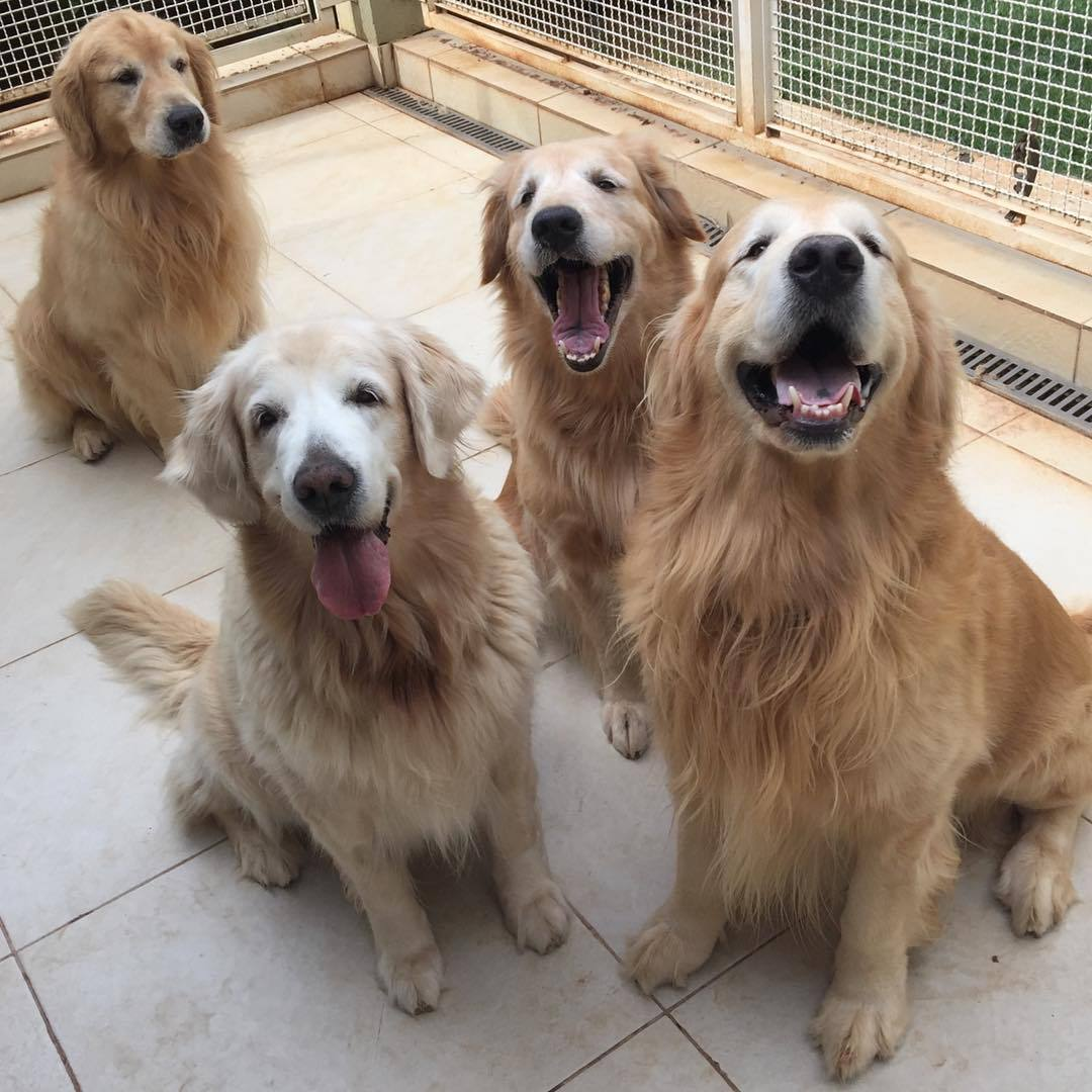 Image result for golden retriever gentle breed