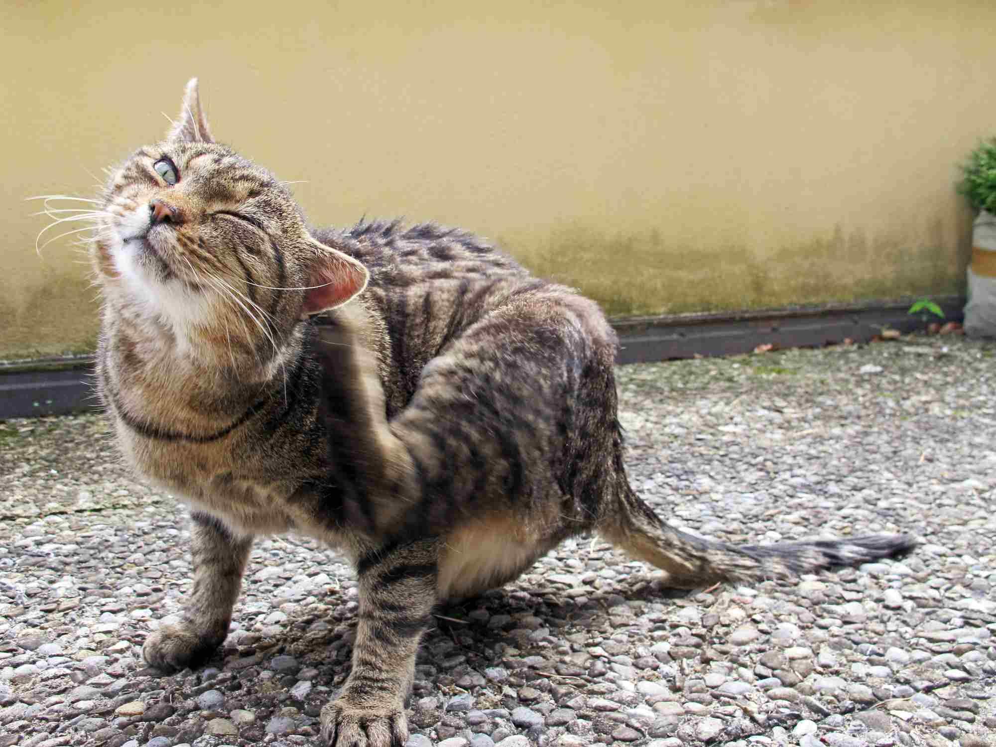 Cat scratching their ear