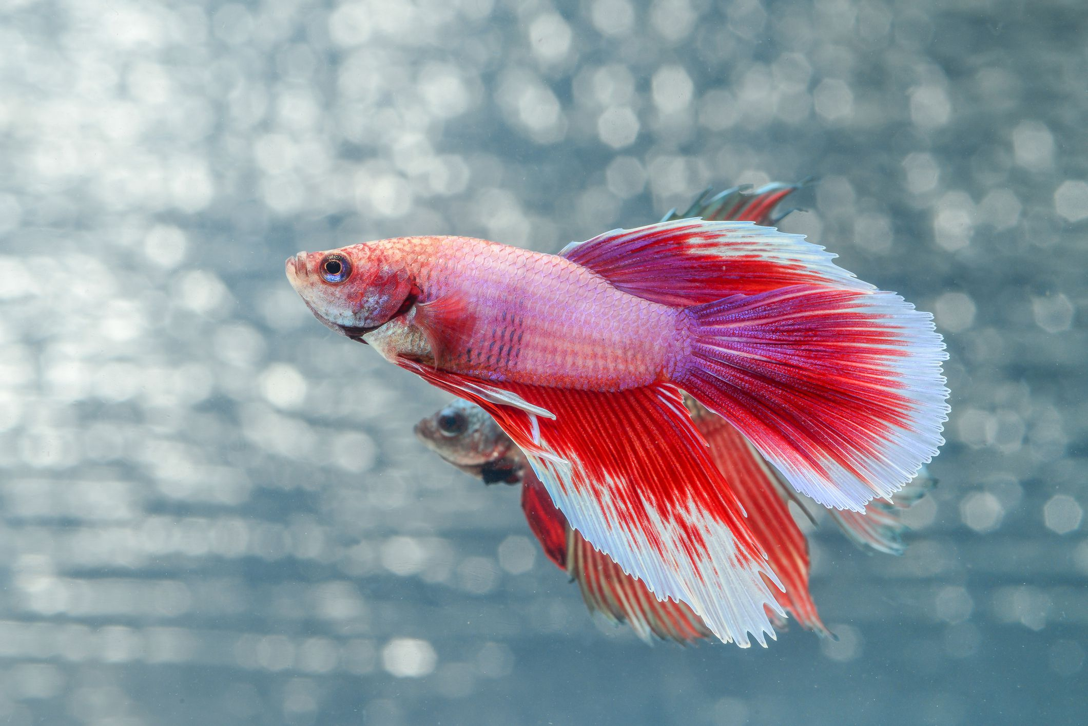 Find out How Long Betta Fish Live