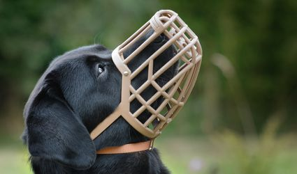 Labrador in well fitting muzzle