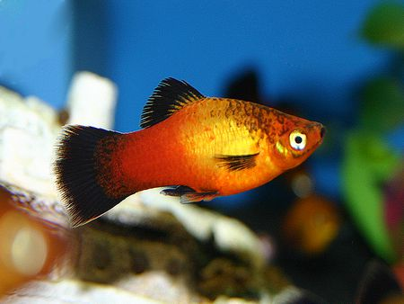 Wagtail Platy Is A Great Community Aquarium Fish