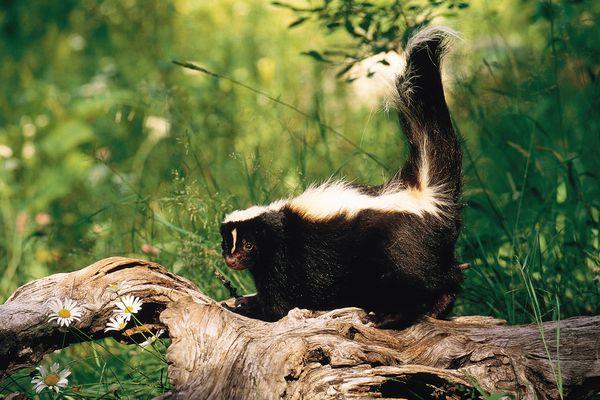 a skunk walking on a log