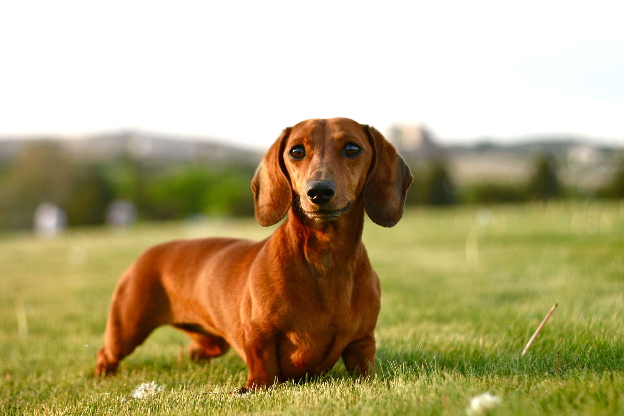 Smooth-haired dachshund standing on grass