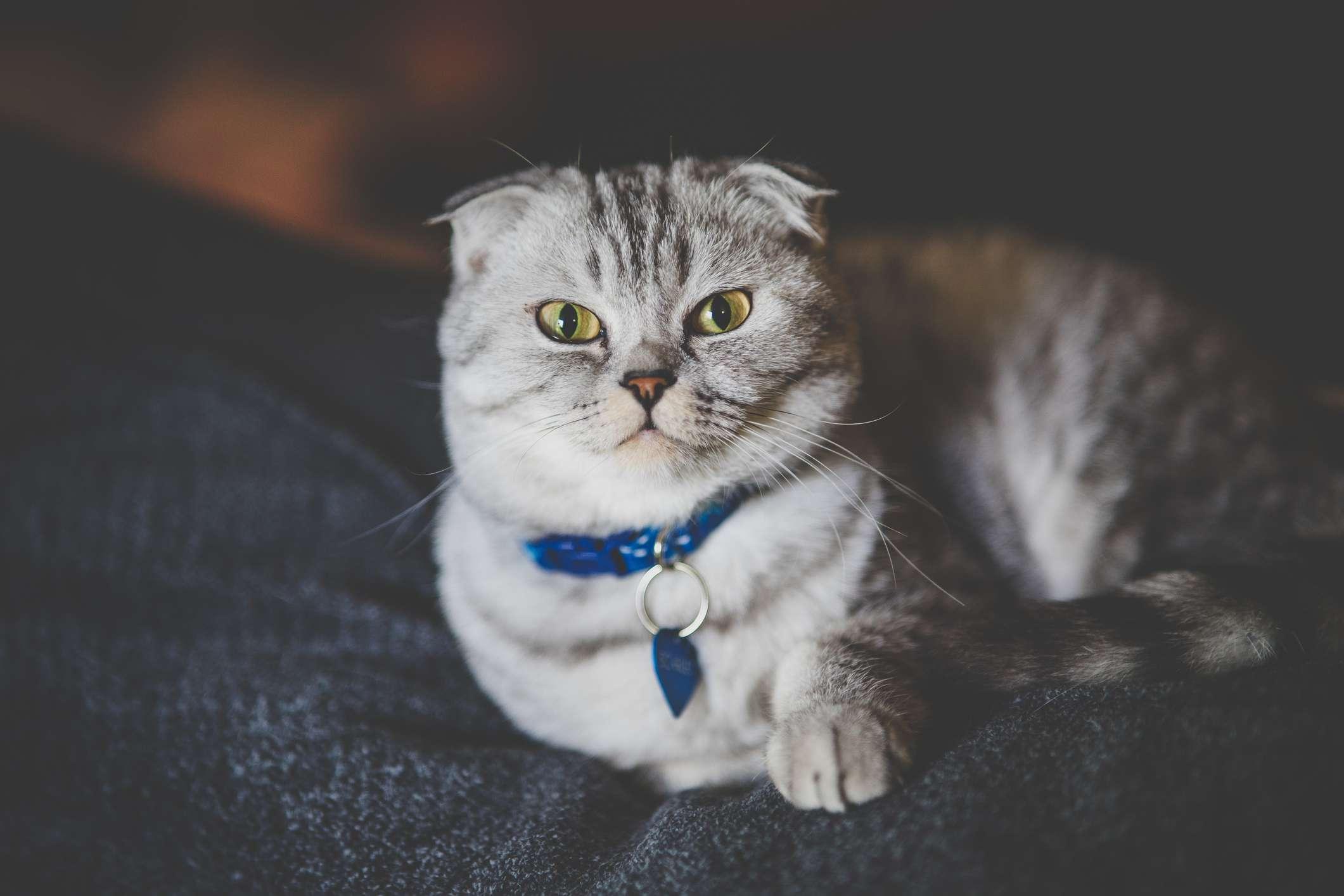 Un gato rayado gris con las orejas dobladas hacia adelante recostado en el sofá