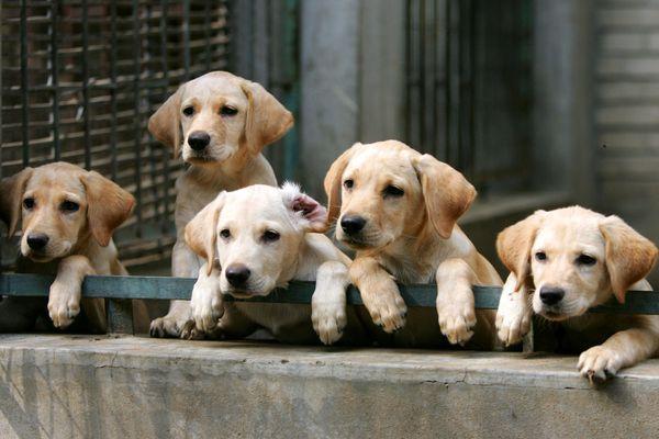Labrador Retriever Puppies Picture - Photo of Labrador Retriever Puppies