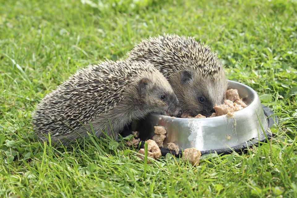 Best Cat Food To Feed Hedgehogs