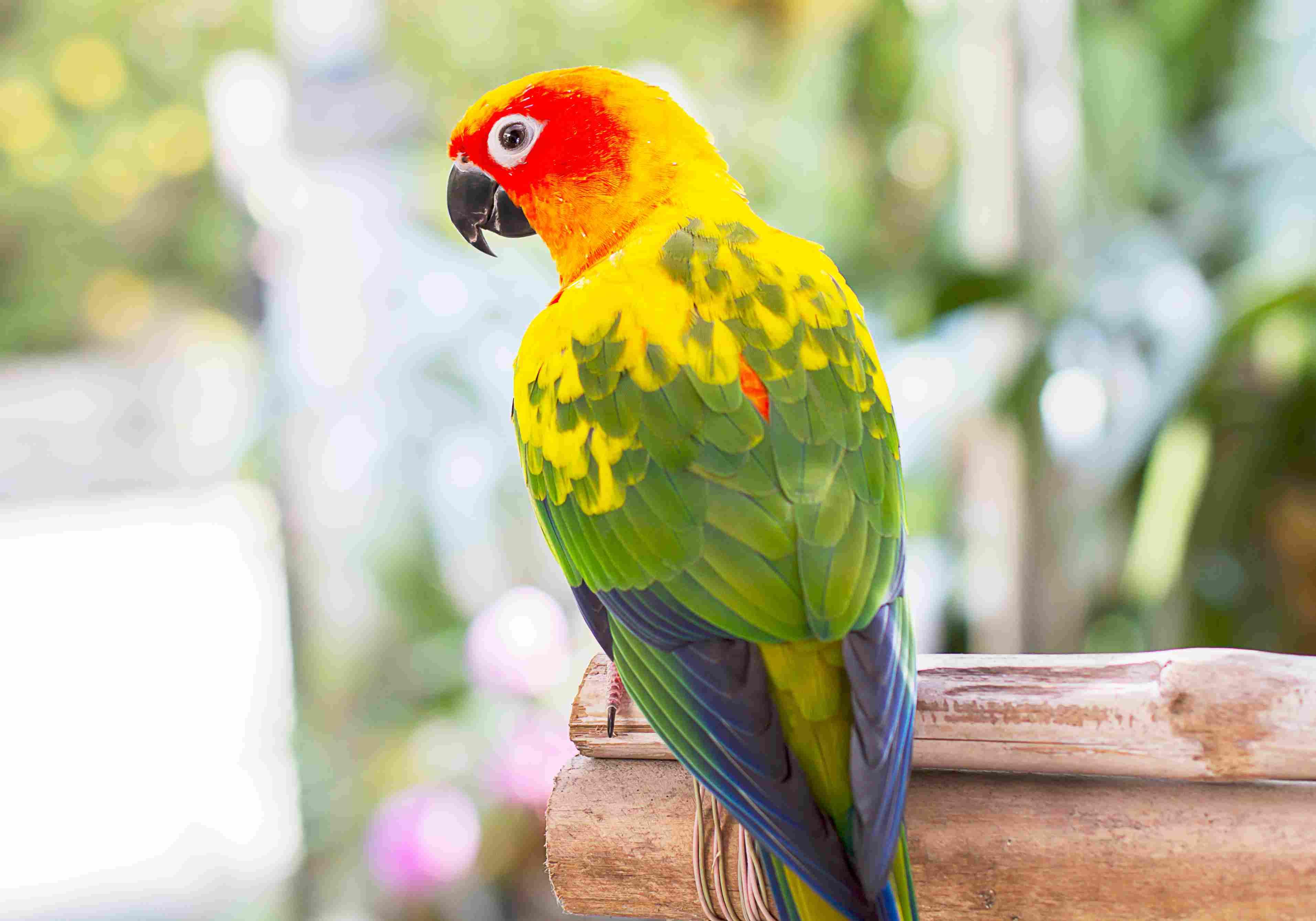 sun conure on a perch
