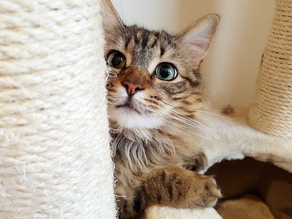 Un gato esponjoso detrás del poste rascador