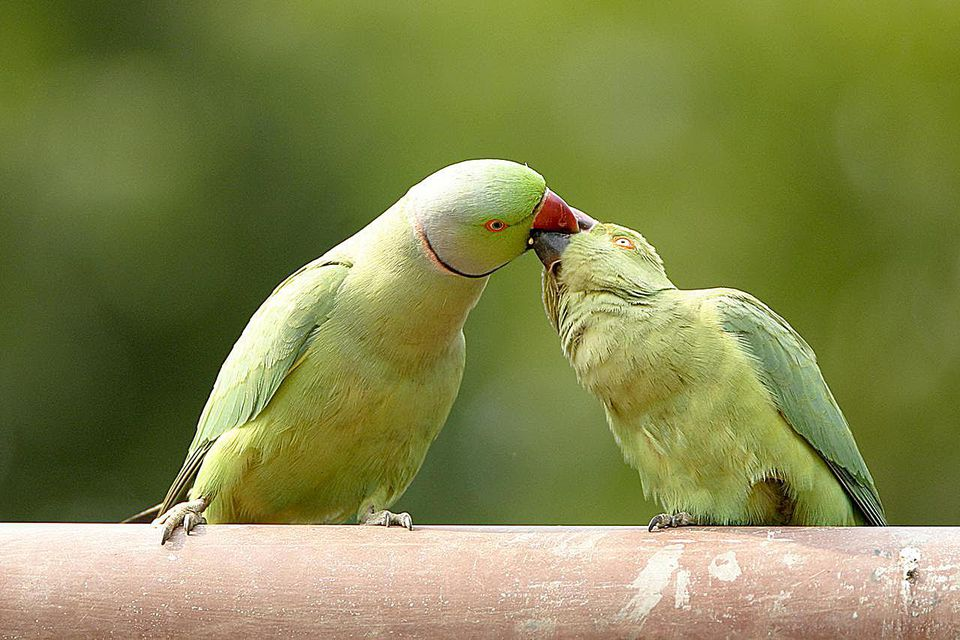 Mating Ritual of Rose-Ringed Parakeets Psittacula Krameri, Ranthambore Tiger Reserve National Park