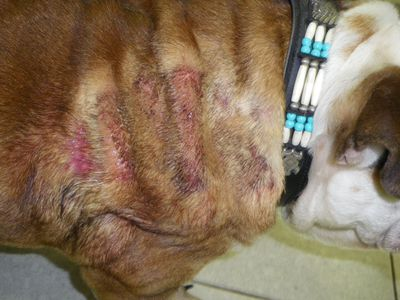 How to Treat Folliculitis in Dogs