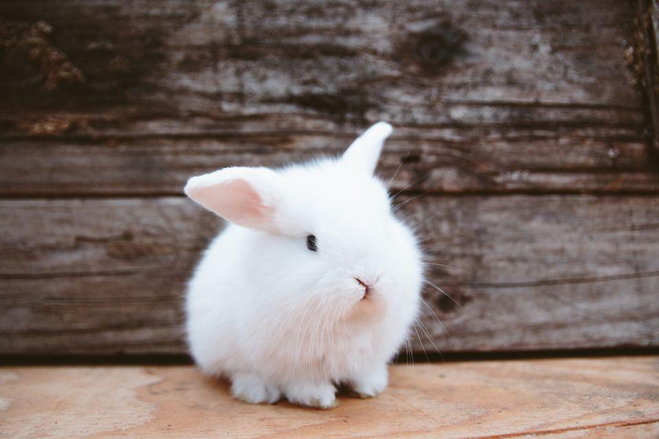 entender el comportamiento del conejo