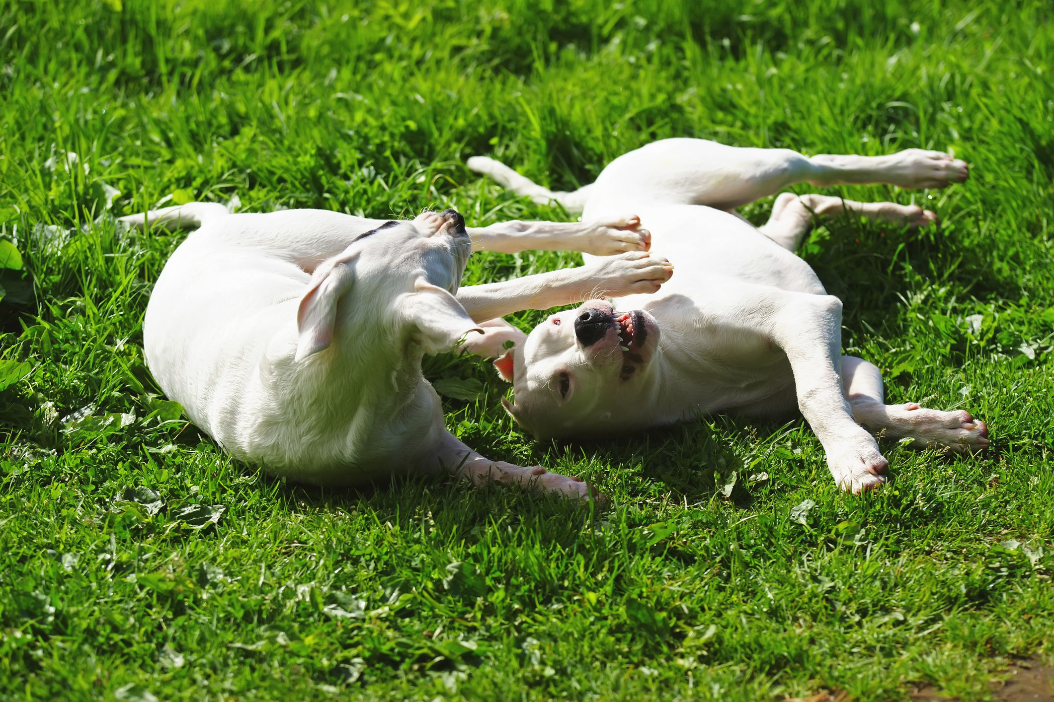 Dogo Argentino dogs playing