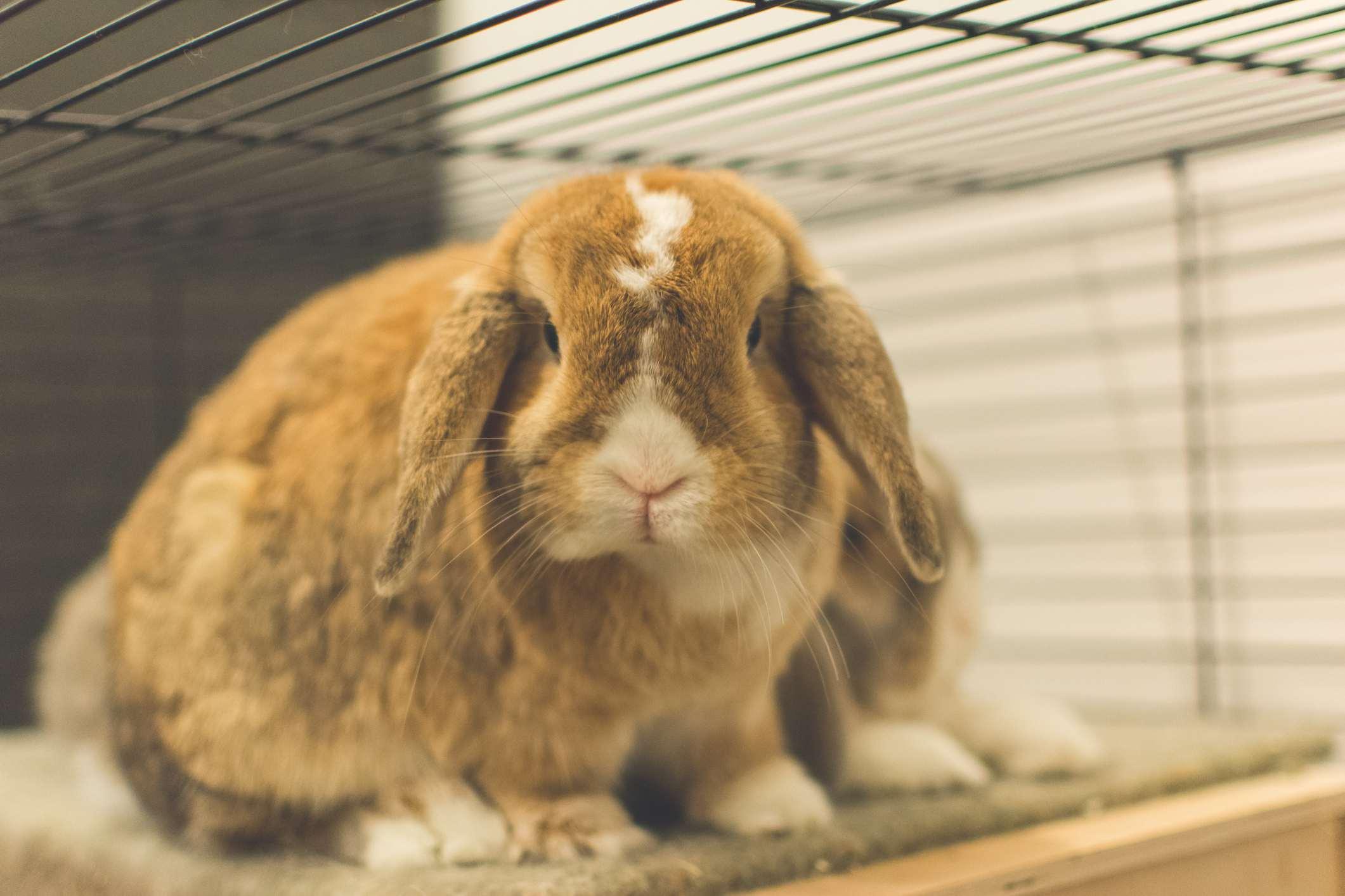 Orejas caídas conejo en jaula