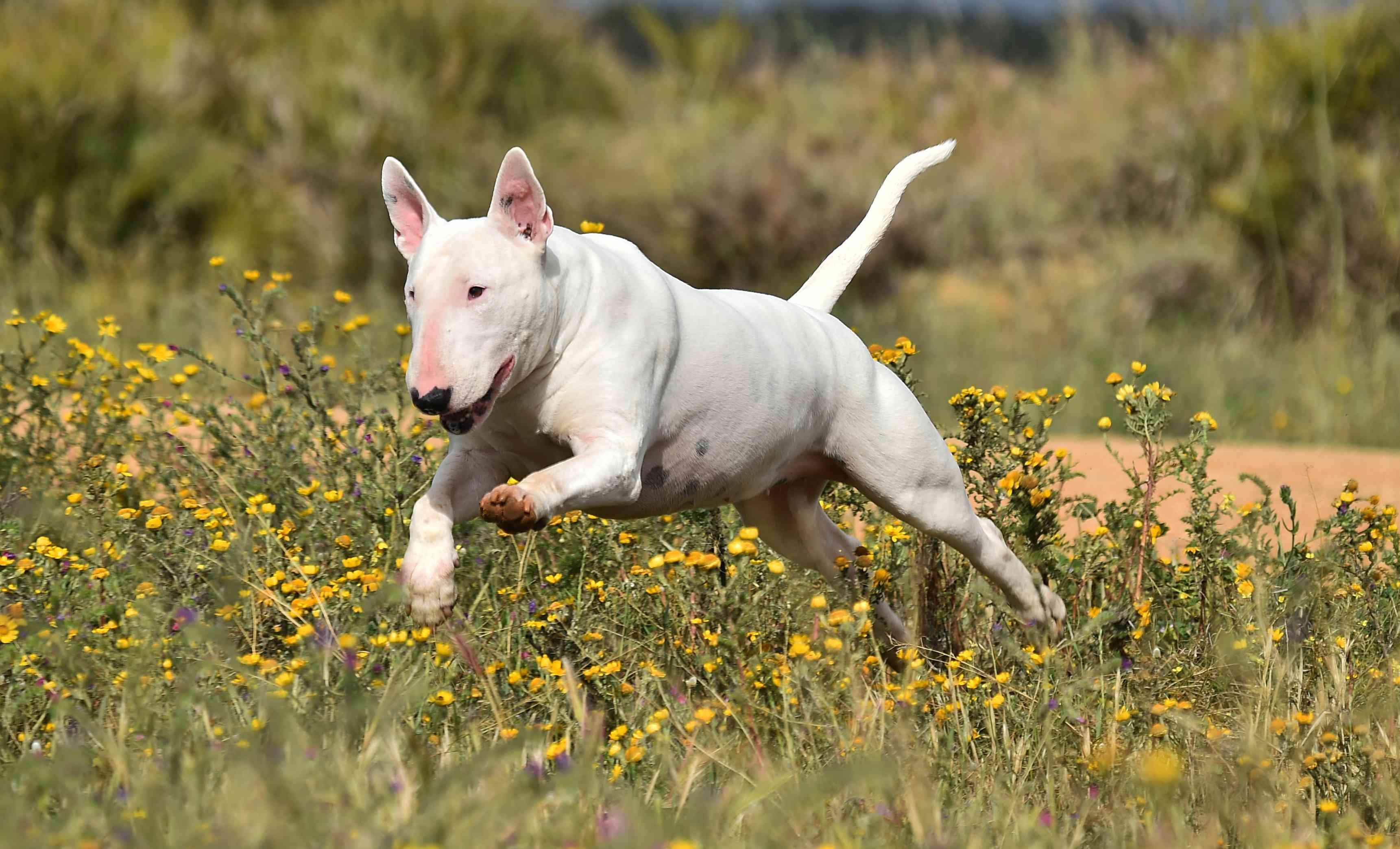 White bull terrier running through a meadow