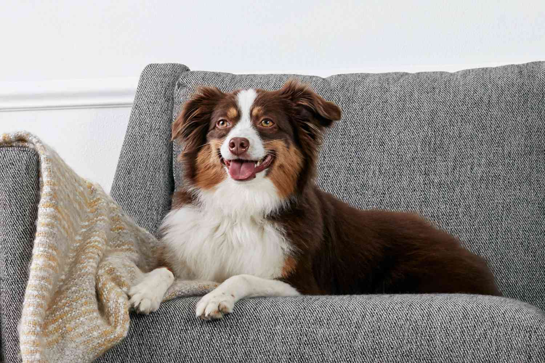 An Australian Shepherd on a sofa