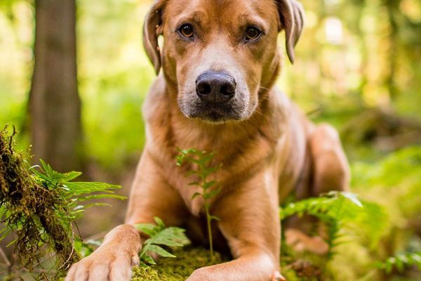 A tan-colored dog laying down on a mossy log looking at the camera.