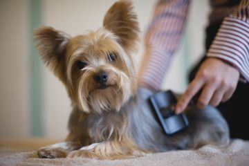 Yorkshire Terrier being groomed with brush, looking at camera