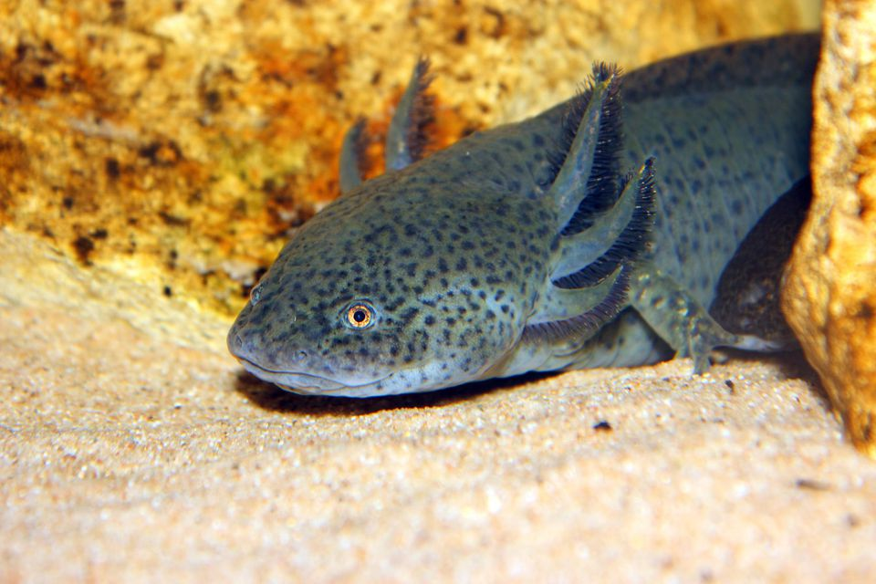 Axolotl on sand underwater