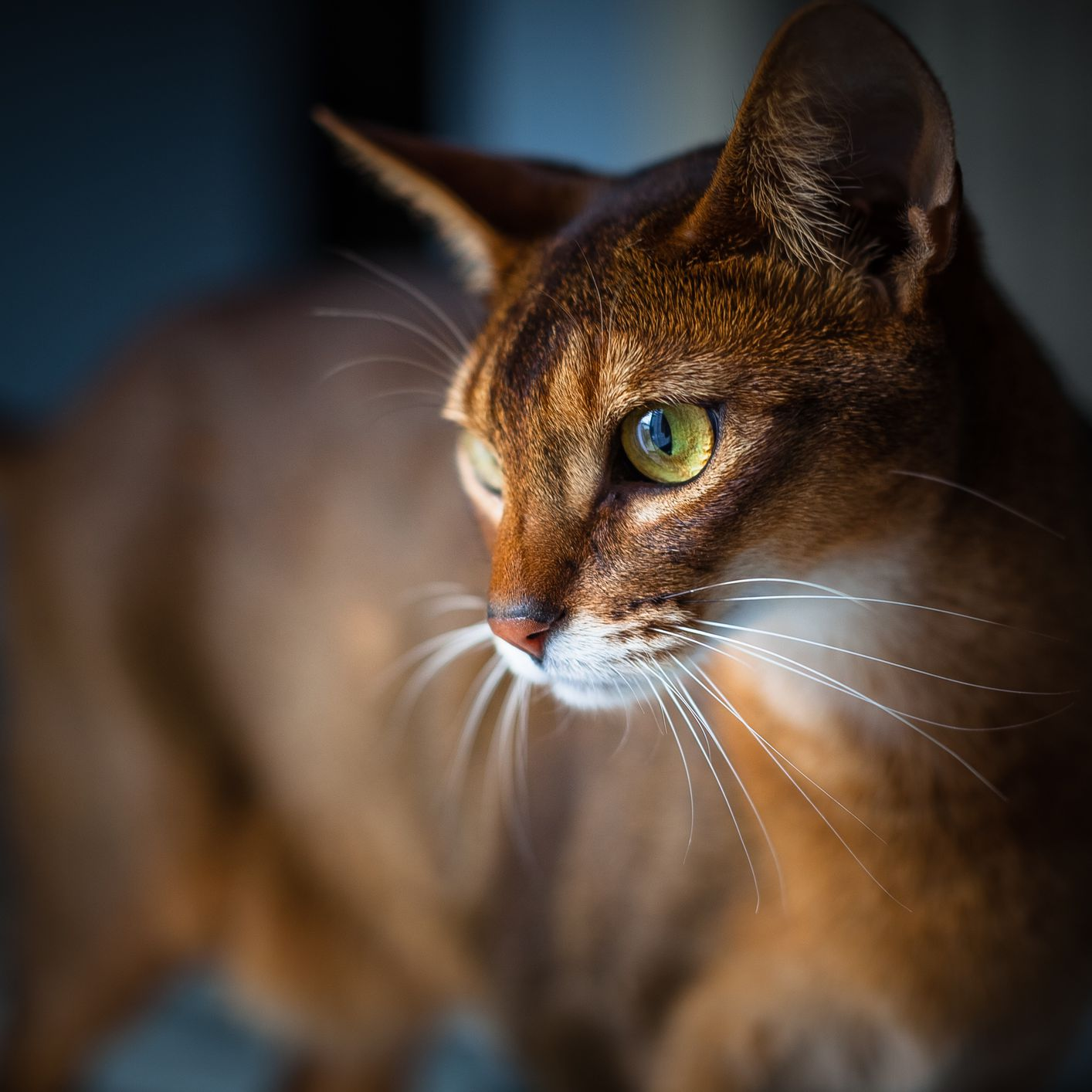 How To Treat Renal Amyloidosis In Cats