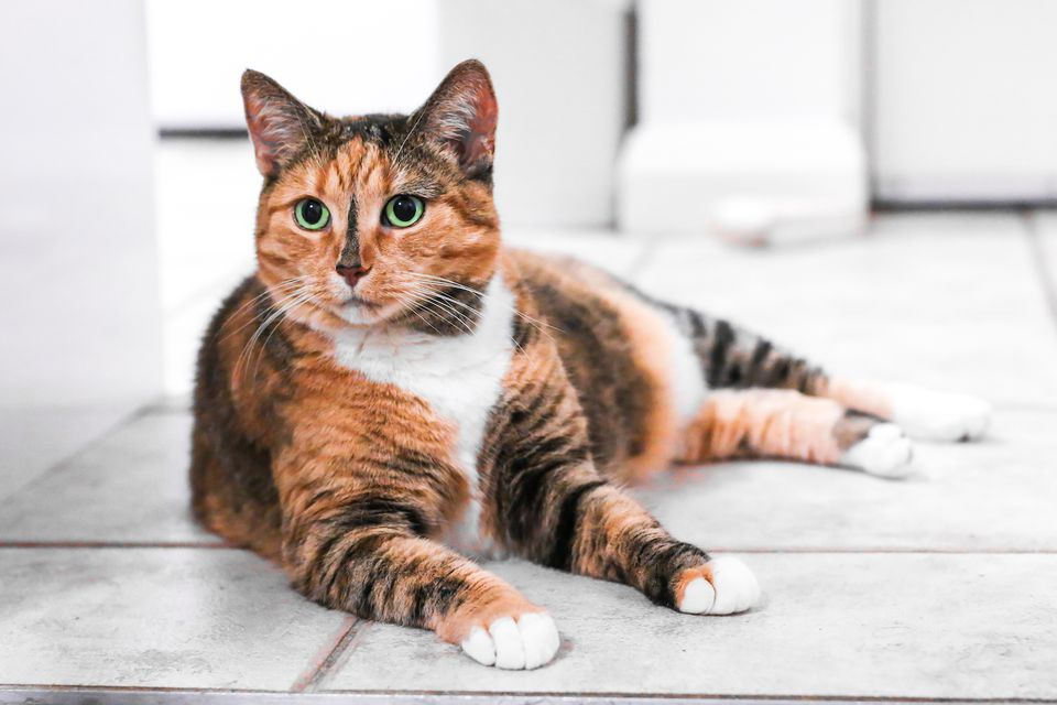 tortoiseshell cat laying on the floor